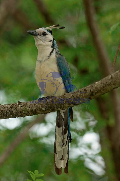White-throated Magpie-jay -(Calocitta formosa) - Costa Rica