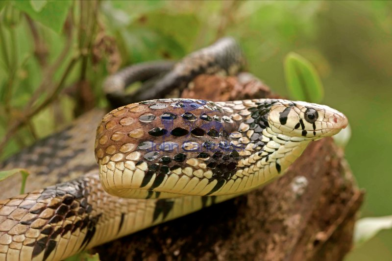 Tropical Rat Snake - (Spilotes pullatus) - Costa Rica