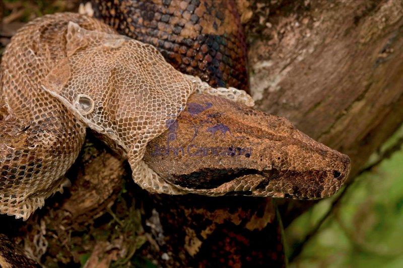 Boa Constictor - (Boa constictor)- Costa Rica-Shedding skin
