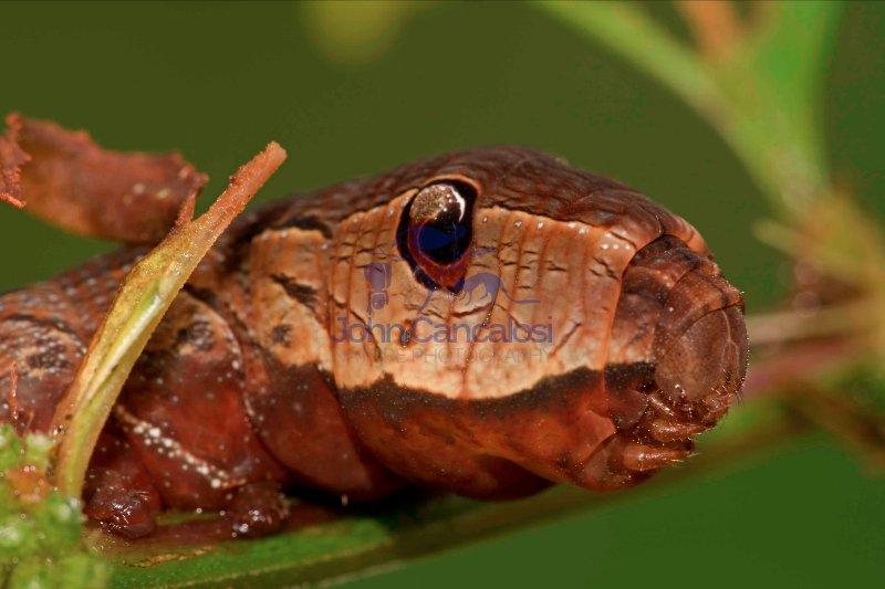 Sphinx moth (hawk moth) caterpillar - Xlyophanes neoptolemus - S