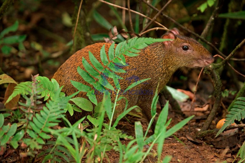 Central American Agouti - (Dasyprocta punctata) - Costa Rica