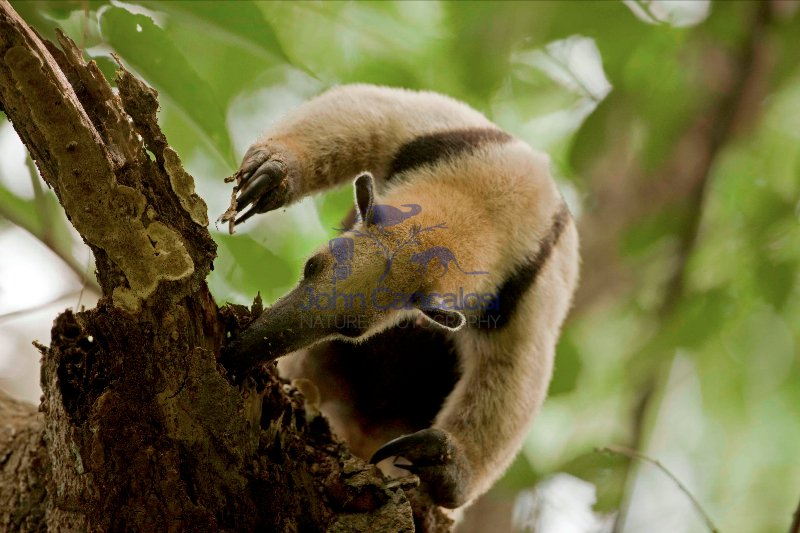 Northern tamandua (Tamandua mexicana) - feeding - Costa Rica