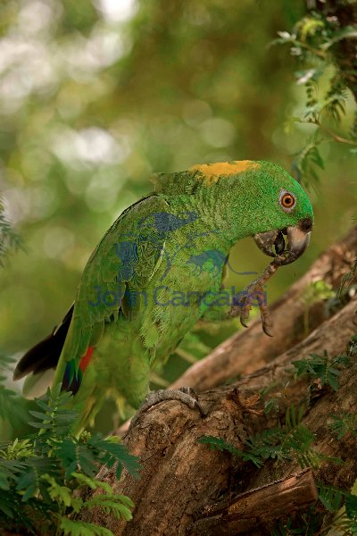 Yellow-naped Amazon (Amazona auropalliata) - Costa Rica