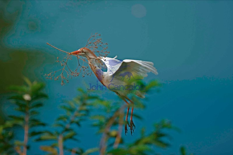 Cattle Egret (Bubulcus ibis) -Costa Rica - At nesting colony -tr