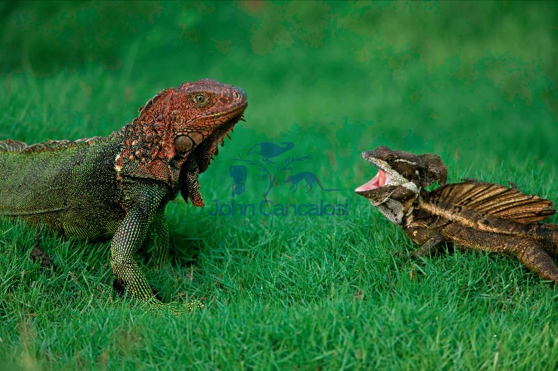 Green Iguana - (Iguana iguana) and Common Basilisk - (Basiliscus