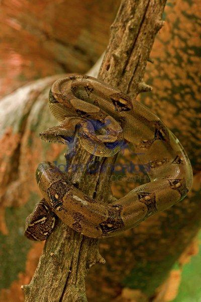 Boa Constictor - (Boa constictor)- Costa Rica- in tree