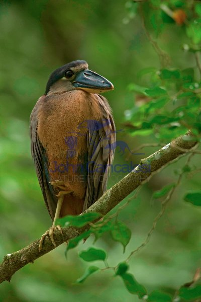 Boat-billed Heron - (Cochlearius cochlearius) -Costa Rica