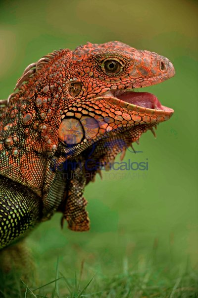Green Iguana - (Iguana iguana) - Costa Rica - Tropical rainfores