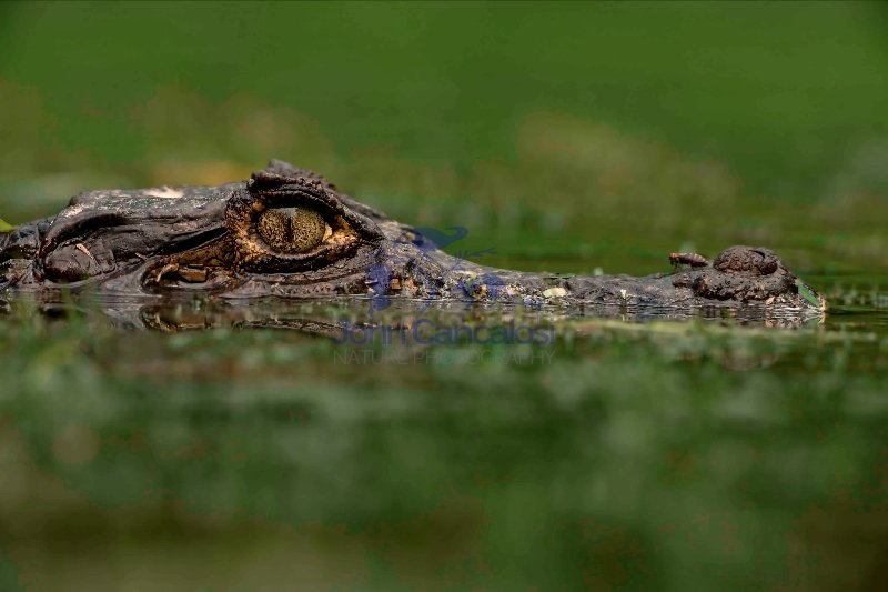 Spectacled Caiman -(Caiman crocodilus)  - Costa Rica