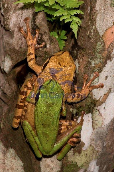 Masked Treefrog -(Smilisca phaeota) - Costa Rica