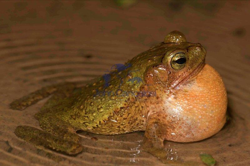 Green Climbing Toad - (Bufo coniferus) - Costa Rica