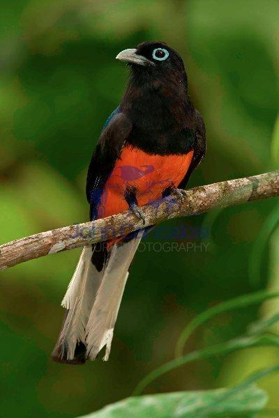 Baird\'s Trogon - (Trogon bairdii) - Costa Rica - male