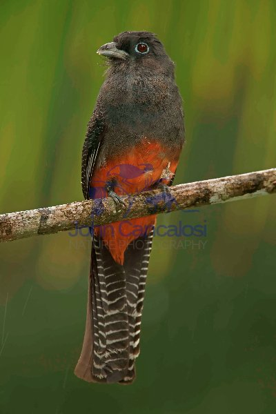Baird\'s Trogon - (Trogon bairdii) - Costa Rica - Female