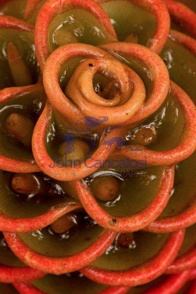 Shampoo ginger - (Zingiber zerumbet) - Costa Rica