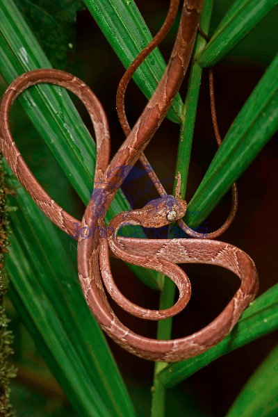 Blunthead Tree Snake - (Imantodes cenchoa) - Costa Rica