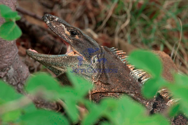 Spiny-tailed Iguana , (Ctenosaura similis) , Costa Rica, eating