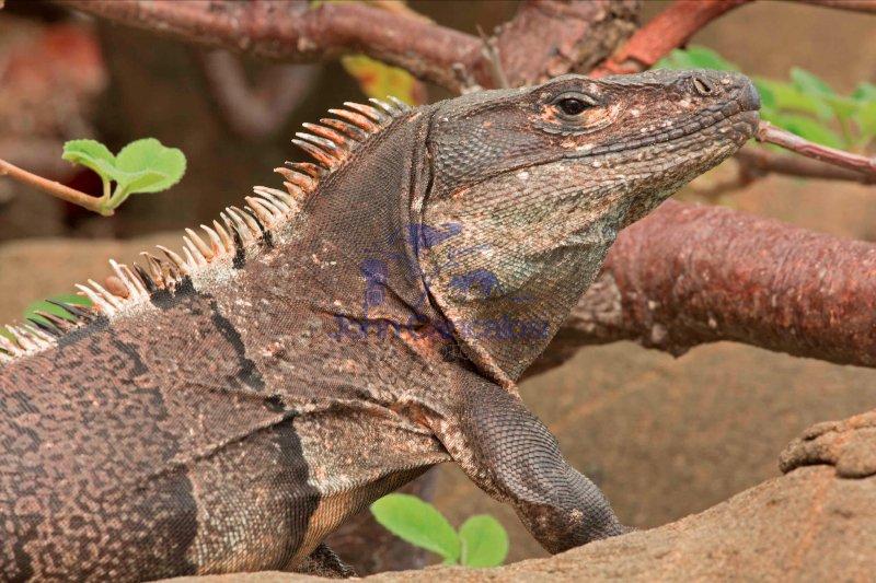 Spiny-tailed Iguana , (Ctenosaura similis) , Costa Rica