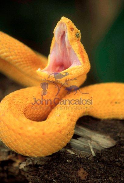 Eyelash Viper - Cothatechis schlegelii (Bothrops) - Costa Rica