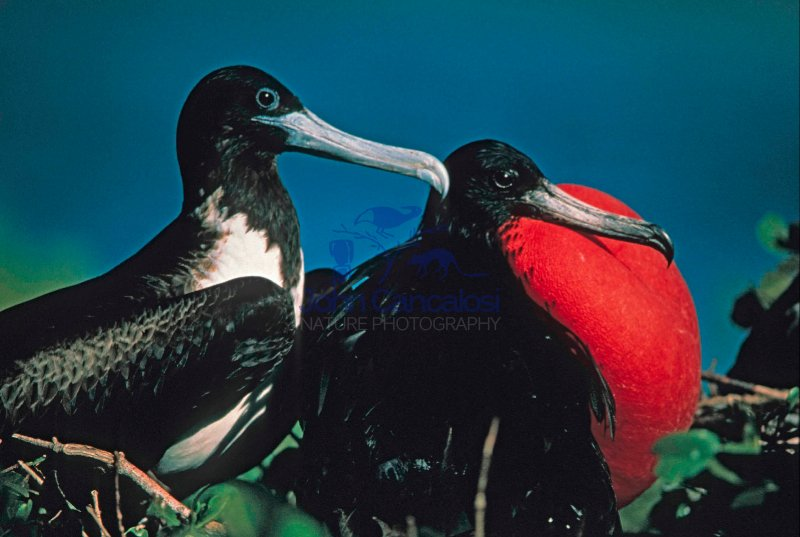 Magnificent Frigatebirds (Fregata magnificens) - Antigua West In