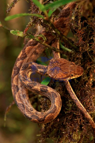 Northern cat-eyed snake - (Leptodeira septentrionalis) - Costa R