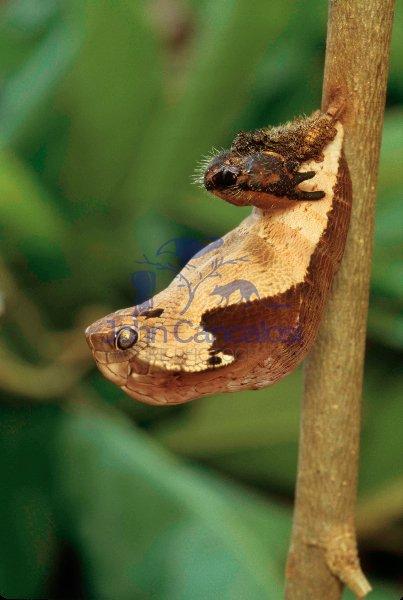 Owl Butterfly Pupa (Dynastor darius)  - Costa Rica