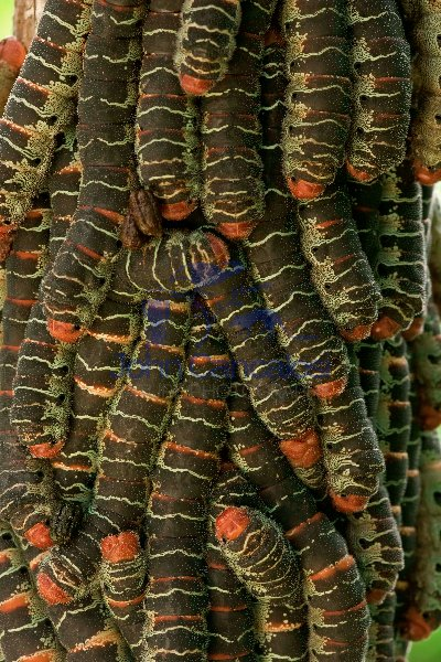 Giant Silk Worm Caterpillars - (Arsenura armida) - Costa Rica