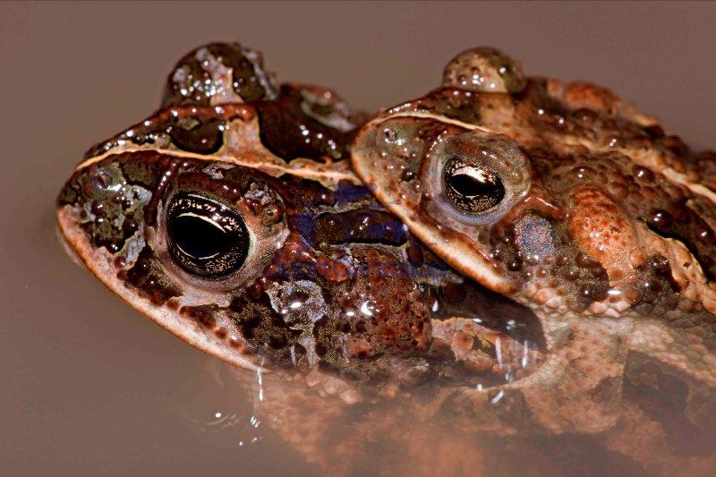 Southern Roundgland Toads - (Incilius coccifer) - Costa Rica