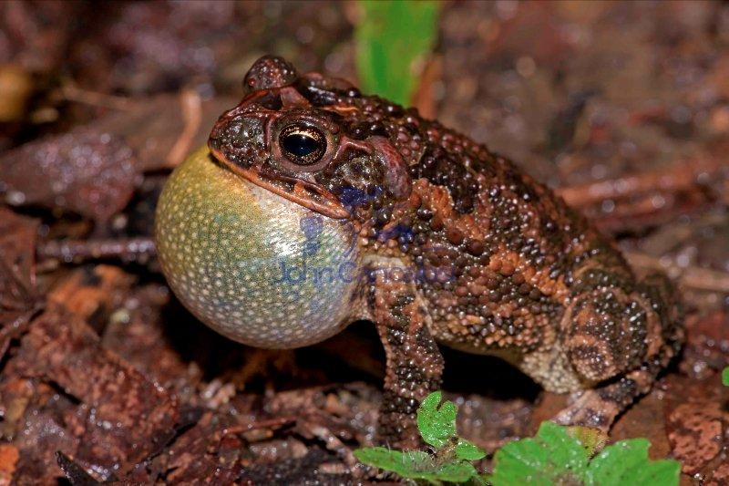 Southern Roundgland Toad - (Incilius coccifer) - Costa Rica