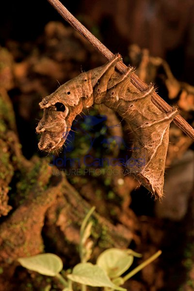 Caterpillar - (Crinodes ritsemae) - Costa Rica - dead leaf mimic