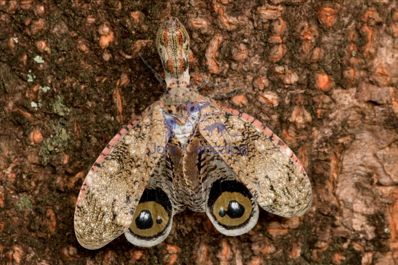 Lantern fly - (Machaca) - Fulgora lampetis - Costa Rica