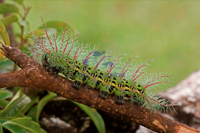 Saturiid moth caterpillar - (Automeris metzli) - Costa Rica