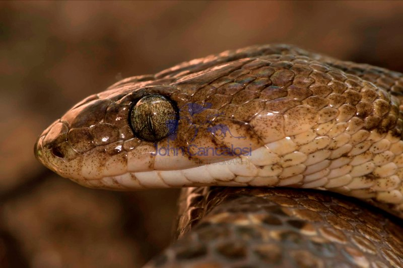 Lyre snake-(Trimophodon biscutatus) - Costa Rica