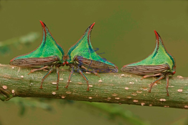 Thornbugs-(Umbonia spp.) - Costa Rica