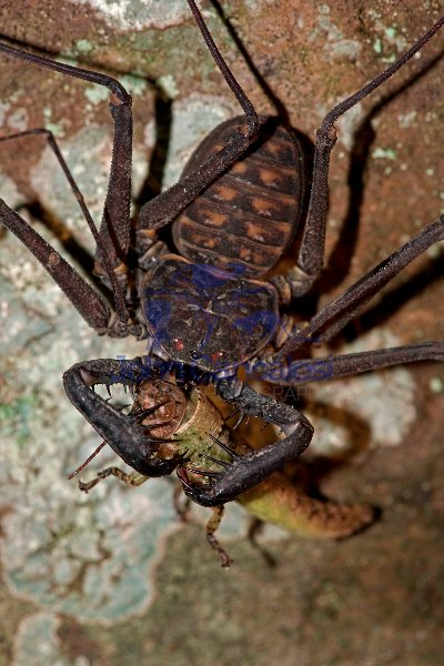 Tail-less whip scorpion - (Phrynus whitei) - Costa Rica