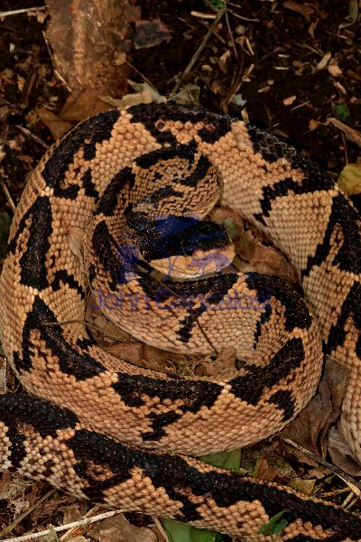 Black-headed Bushmaster - (Lachesis melanocephala) - Costa Rica