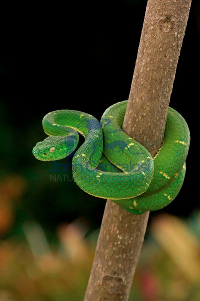Side-striped Palm-pitviper (Bothriechis lateralis) - Costa Rica