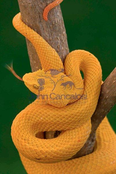 Eyelash Palm-pitviper -(Bothriechis schlegeli) - Costa Rica