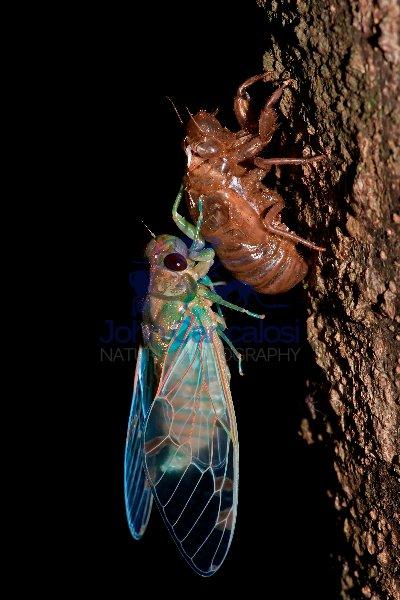 Emerald Cicada - Zammara smaragdina - Costa Rica