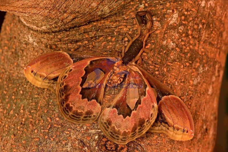 Central American Bark Scorpion -(Centruroides margaritatus) eati