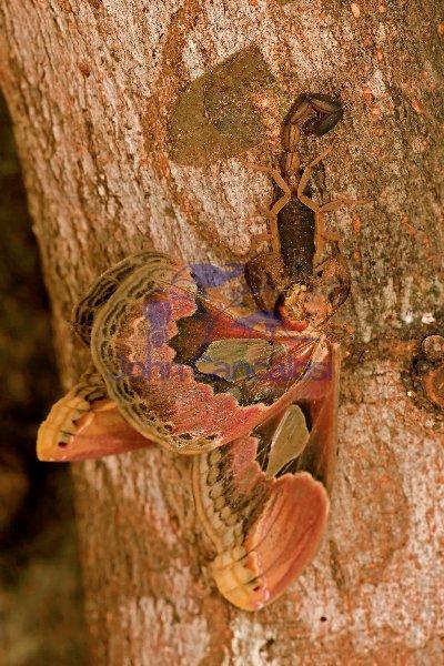 Central American Bark Scorpion-(Centruroides margaritatus) eati