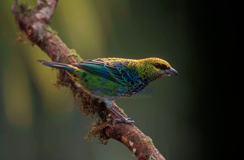 Speckled Tanager (Tangara buttata) - Costa Rica