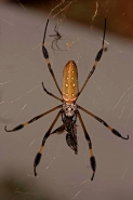 Golden Orb Weaver (Nephila clavipes) - Costa Rica - female