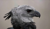 Harpy Eagle - Harpia harpyja - captive - native to the neotropic