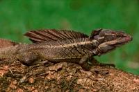 Common Basilisk - (Basiliscus basiliscus) - Costa Rica