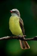 Social flycatcher (Myiozetetes similis) - Costa Rica - Bringing