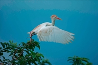 Cattle Egret (Bubulcus ibis) -Costa Rica - At nesting colony