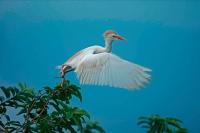 Cattle Egret (Bubulcus ibis) -Costa Rica - At nesting colony