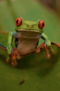 Red-eyed treefrog - (Agalychnis callidryas) - Costa Rica