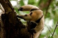 Northern tamandua (Tamandua mexicana) - feeding - Costa Rica