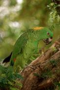 Yellow-naped Amazon (Amazona auropalliata) - Costa Rica